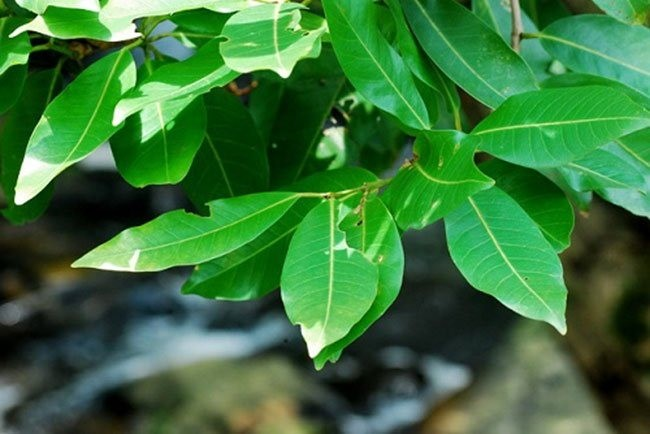 Lá vối là loại lá được sử dụng rất nhiều trong dân gian